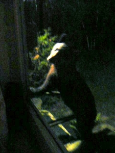 A small bear up on his hind feet, leaning up against the screen door, head cocked and looking straight at the camera through the screen.