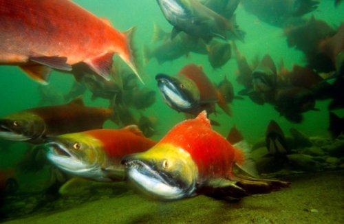 Missing Fraser River Sockeye  via Leanne Hodges
