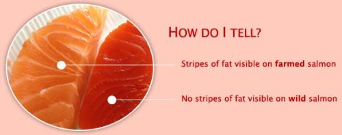 salmon-farmed-wild
