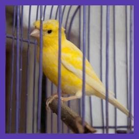 Canary V